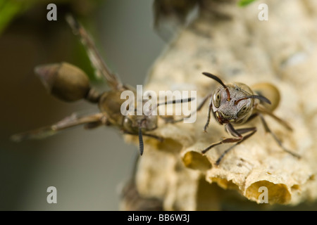 Paper Wasps Ropalidia species looking at the camera and defending their nest Pongola Kwazulu Natal Province South - Stock Photo