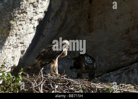 Bonellis Eagle chick standing on edge of nest with adult feeding inthe shadows at rear of large nest - Stock Photo