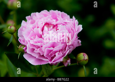 Pink Peony Flower - genus Paeonia, the only genus in the family Paeoniaceae