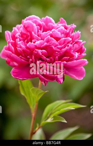 Peony flower - Stock Photo