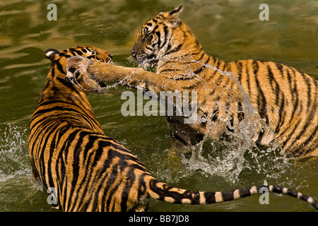 Two tigers (Panthera tigris) fighting in water - Stock Photo