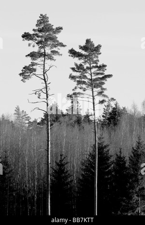 two pine in the forest - Stock Photo