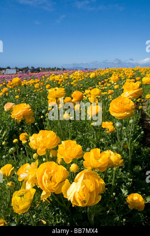 Colorful ranunculus flowers grow at The Flower Fields of Carlsbad Southern California USA - Stock Photo
