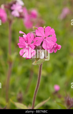 Red or Pink Campion Silene dioica - Stock Photo