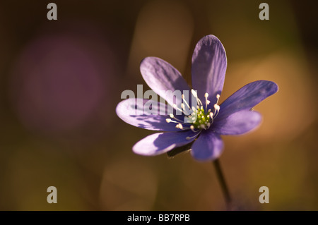 Blossom of Hepatica nobilis in the early spring - Stock Photo