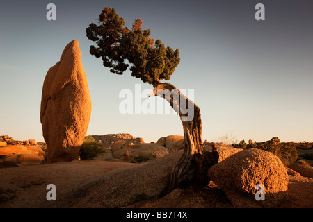 Juniper tree and conical rock at Jumbo Rocks in Joshua Tree National Park California USA - Stock Photo