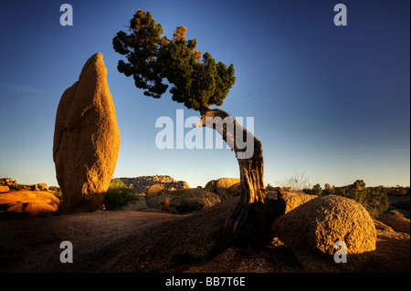 Juniper tree and conical rock at Jumbo Rocks in Joshue Tree National Park California USA - Stock Photo