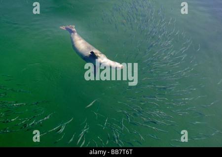 Phoca vitulina vitulina, Common Seal, hunting Herring - Stock Photo