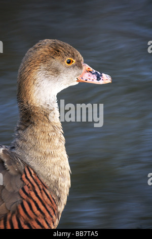 Wildfowl;Ducks;Plumed Whistling Duck; 'Dendrocygna eytoni';Head,neck and shoulders only. - Stock Photo