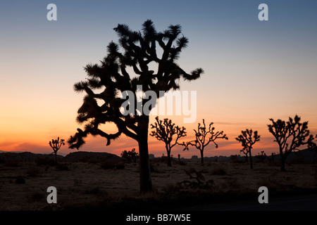 Dusk setting behind joshua trees in Joshua Tree National Park in California USA - Stock Photo