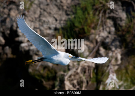 Great Egret flying over Moss Landing, California, USA - Stock Photo