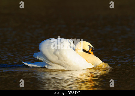 Mute Swan (Cygnus olor), threatening gesture - Stock Photo