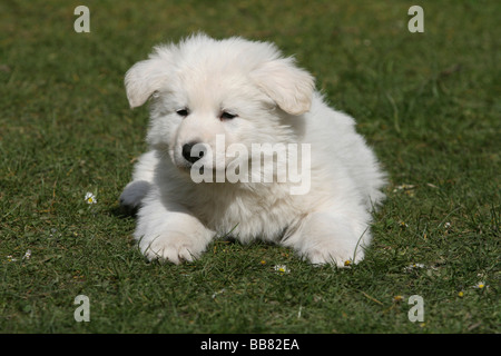 Puppy, White Swiss Shepherd, 7 weeks old - Stock Photo