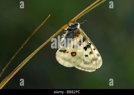 Apollo (Parnassius apollo) resting on a grass stalk covered with dew drops, Swabian Alb, Baden-Wuerttemberg, Germany, - Stock Photo