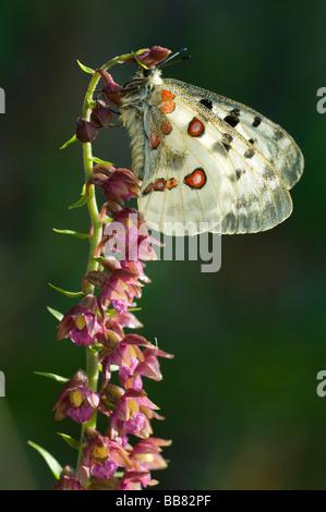 Apollo (Parnassius apollo) resting on an orchid, Dark Red Helleborine (Epipactis atrorubens), backlit, Swabian Alb, - Stock Photo