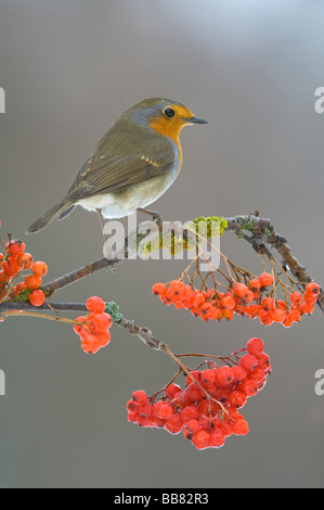 European Robin (Erithacus rubecula), perched on a branch of a Rowan tree - Stock Photo