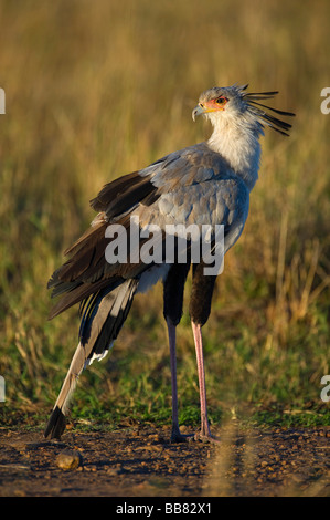 Secretary Bird (Sagittarius serpentarius), Masai Mara National Reserve, Kenya, East Africa - Stock Photo