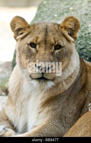 Lioness (Panthera leo), Basel Zoo, Switzerland, Europe - Stock Photo