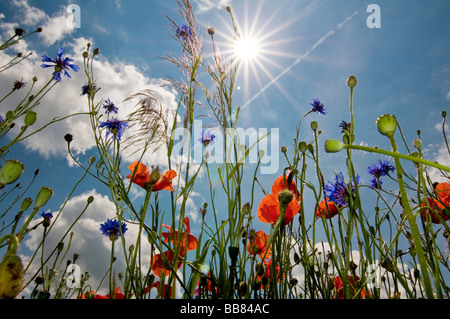 Poppy meadow with sun and shafts of sunlight, wide angle perspective from the bottom up - Stock Photo