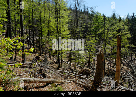 Damages to the forest at Rachel mountain, Bavarian Forest National Park, Lower Bavaria, Germany, Europe - Stock Photo
