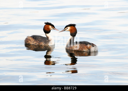 Two Great Crested Grebes (Podiceps cristatus) on the Schweriner See Lake, Schwerin, Mecklenburg-Western Pomerania, - Stock Photo