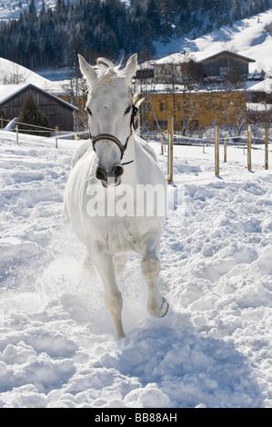 Lipizzan horse on winterly paddock, Achenkirch, Tyrol, Austria - Stock Photo