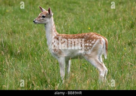 Fallow Deer Fawn Dama dama Standing In Grass Taken At Dunham Massey National Trust Reserve, Cheshire, UK - Stock Photo