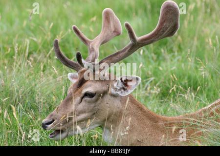 Close Up Of Head And Velvet Antlers Of Fallow Deer Buck Dama dama Taken At Dunham Massey National Trust Reserve, - Stock Photo