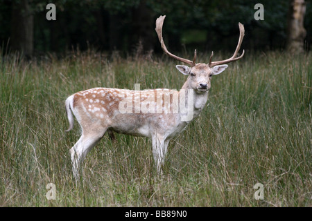 Pale Coloured (Menil) Fallow Deer Buck Dama dama Standing In Grass Taken at Lyme Park National Trust Reserve, Cheshire, - Stock Photo