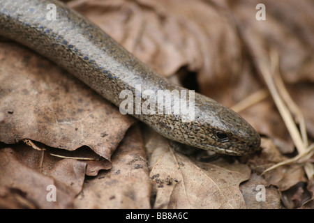 Close-up Of Head Of Male Slow-worm Anguis fragilis Taken in Cumbria, UK - Stock Photo