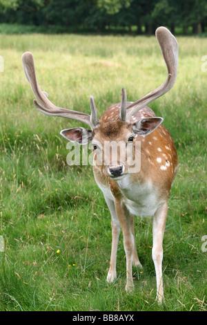 Portrait Of Curious Fallow Deer Buck Dama dama In Velvet Taken at Dunham Massey National Trust Reserve, Cheshire, - Stock Photo