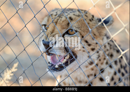 Cheetah (Acinonyx jubatus) in a cage on the Zelda Game & Guest Farm, Namibia, Africa - Stock Photo