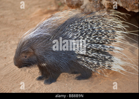 Cape Porcupine or South African Porcupine (Hystrix africaeaustralis) in a cage on the Zelda Game & Guest Farm, Namibia, - Stock Photo