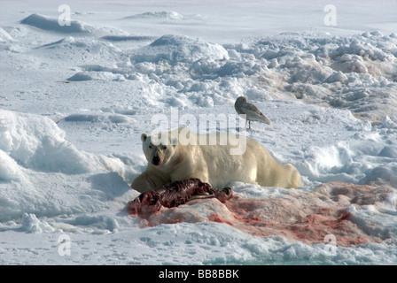 Polar bear feasting on a dead seal - Stock Photo