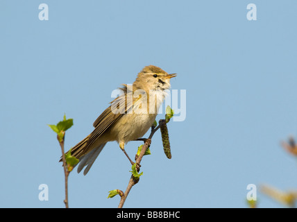 Willow Warbler (Phylloscopus trochilus) - Stock Photo
