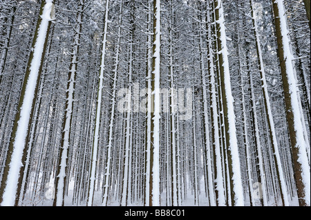 Forest with snow-covered tree trunks, Upper Bavaria, Bavaria, Germany - Stock Photo