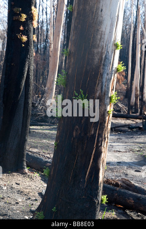 Fire damaged trees showing new growth on the trunk six weeks after a bushfire - Stock Photo
