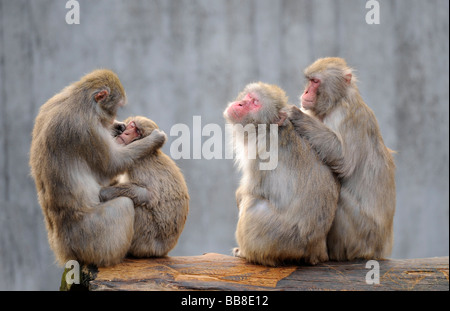 Japanese Macaque (Macaca fuscata), delousing each other - Stock Photo