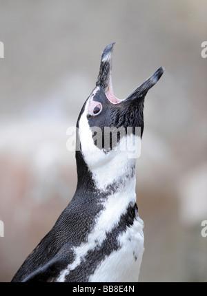 African Penguin, Black-footed Penguin or Jackass Penguin (Spheniscus demersus) with wide opened beak - Stock Photo