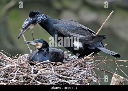 Great cormorant (Phalacrocorax carbo) pair in nest - Stock Photo