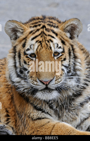 Portrait of a Siberian Tiger (Panthera tigris altaica), young animal - Stock Photo