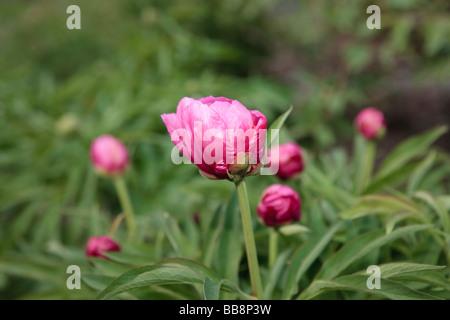 Common Peony (Paeonia officinalis)