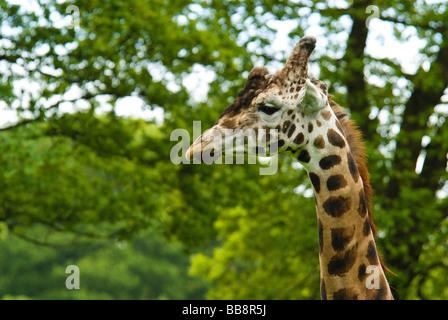 A giraffe - Stock Photo
