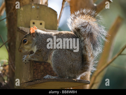 West Sussex, UK. A single Grey Squirrel (Sciurus carolinensis) helping himself to peanuts from a dedicated wooden - Stock Photo