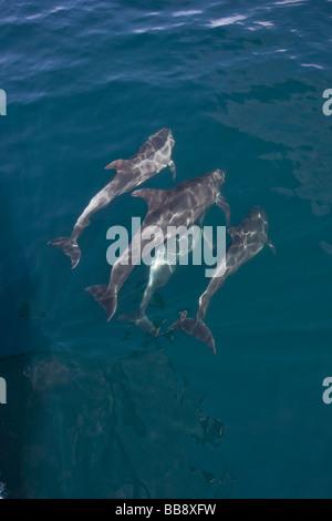 Bottlenose Dolphins tursiops truncatus Großer Tümmler group bowriding Sea of Cortez Baja California Mexiko - Stock Photo
