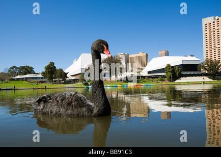 Black swan on the Torrens River, in front of the Adelaide Festival Centre. Adelaide, South Australia, AUSTRALIA - Stock Photo