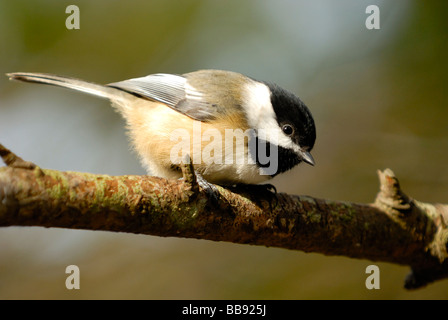 Black-capped Chickadee perched on a branch - Stock Photo