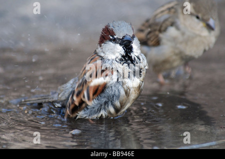 adult male House Sparrow Passer domesticus bathing in a pool - Stock Photo