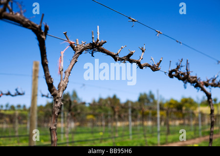 Grapevines in the Barossa Valley, South Australia, AUSTRALIA - Stock Photo
