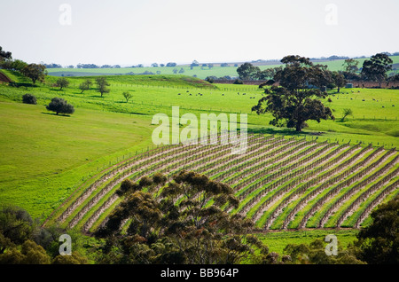 Rows of grapevines in the renowned wine region of the Barossa Valley, South Australia, AUSTRALIA - Stock Photo